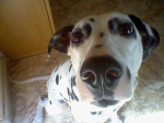Chien Kira - Dalmatien Femelle (3 ans)