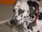 Chien elka - Dalmatien Femelle (3 ans)
