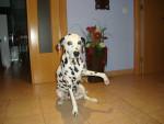 Chien Deysi - Dalmatien Femelle (9 ans)