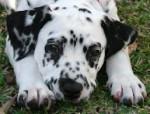 Chien Oreo - Dalmatien Mâle (1 mois)