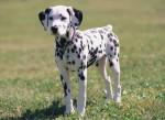 Chien bud - Dalmatien Mâle (6 mois)