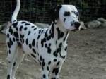 Chien Pichi - Dalmatien Mâle (2 ans)