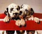 Chien 2 dalmatiens trop mignon - Dalmatien  (0 mois)