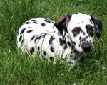 Chien nena - Dalmatien Femelle (7 mois)