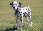 Chien Lila - Dalmatien Femelle (4 mois)