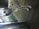 Chien clochette - Dalmatien Femelle (2 ans)