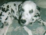 Chien doudou d\'amour - Dalmatien  (0 mois)
