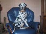 Chien Andy sur son canapé - Dalmatien Mâle (2 ans)