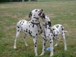 Chien dalmatiens - Dalmatien Femelle (0 mois)