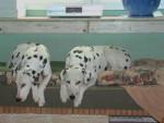 Chien Dalmatiens: Rémus et Rocky - Dalmatien  (0 mois)