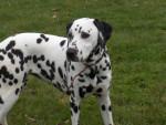 Chien Dounia - Dalmatien Femelle (8 mois)