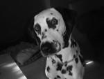Chien dalmatien  arzia - Dalmatien  (0 mois)