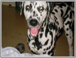 Chien dalmatien - Dalmatien Mâle (0 mois)