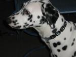 Chien dalmatien EFFIE 1 an - Dalmatien  (0 mois)