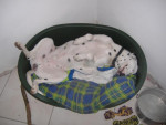 Chien falcom male dalmatien - Dalmatien  (0 mois)