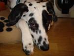 Chien Kikou 6 mois - Dalmatien  (6 mois)
