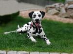 Chien Eaden Dalmatien de 10 mois - Dalmatien  (10 mois)