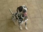 Chien Frosty, jeune Dalmatienne de 15 mois - Dalmatien  (1 ans et 3 mois)