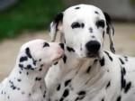 Chien pinceau et lola - Dalmatien  (0 mois)