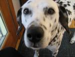 Chien Goergia - Dalmatien Femelle (9 ans)