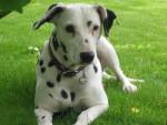 Chien Aglaée - Dalmatien Femelle (8 ans)