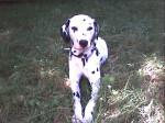 Chien cooky - Dalmatien Mâle (5 ans)