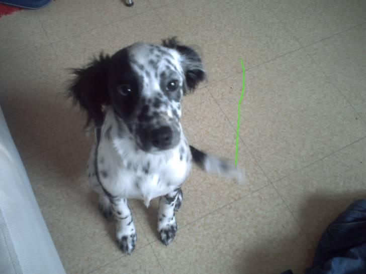 Chien Pépita - Dalmatien Femelle (5 ans)