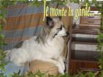 Chien Papillon croisé Loulou blanc - Ginger - Epagneul nain Papillon Femelle (0 mois)