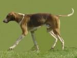 Chien  - Foxhound Anglais  (0 mois)
