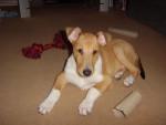Chien Riley - Colley Mâle (8 mois)