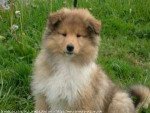 Chien prune - Colley Femelle (9 mois)