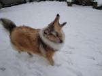 Chien Jaskia sous la neige - Colley  ()
