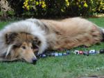 Chien Jaskia belle chienne Colley - Colley  ()