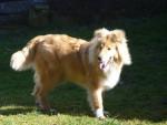 Chien Iago beau Colley sable de 6 mois - Colley  (6 mois)
