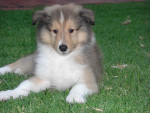 Chien Buddy - Colley Mâle (1 mois)