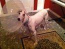 Chien Carabella - Greyhound Femelle (11 ans)