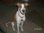 Chien olivia - Greyhound Femelle (5 ans)