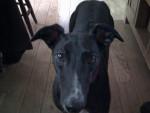 Chien Jenny - Greyhound Femelle (5 ans)