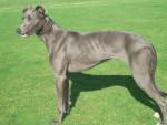 Chien Taz - Greyhound Mâle (2 ans)