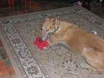 Chien Bungy - Greyhound Mâle (Autre)