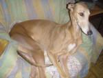 Chien Greyhound - Ulsanne de Belouyeva - Greyhound  (0 mois)