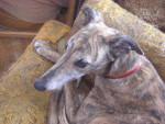 Chien  - Greyhound  (0 mois)