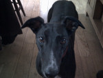 Chien Jenny - Greyhound Femelle (4 ans)