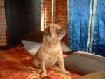 Chien buffy - Griffon belge Femelle (2 ans)