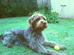 Chien bandit - Griffon d\'arrêt à poil dur Korthals Mâle (4 ans)