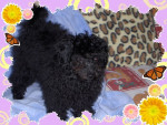Chien coquin - Caniche Femelle (1 an)