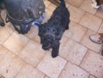 Chien Chicana - Caniche Femelle (2 ans)