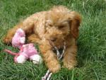 Chien Choupette( bébé) - Caniche Femelle (1 an)