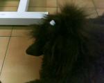 Chien Eliok - Caniche Femelle (11 mois)