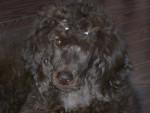 Chien Shiva - Caniche Femelle (8 mois)